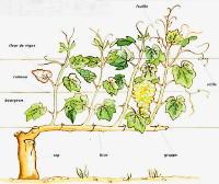 Les c pages du vin - Planter vigne raisin de table ...